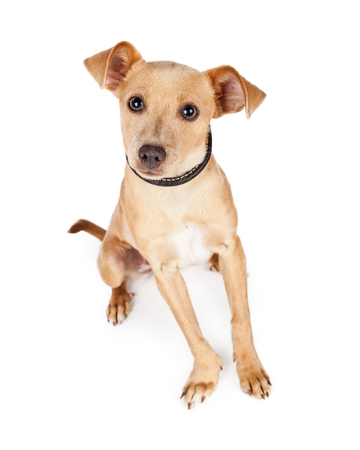 lapdog: Adorable little Chihuahua mixed breed dog with an alert and active posture looking at the camera.