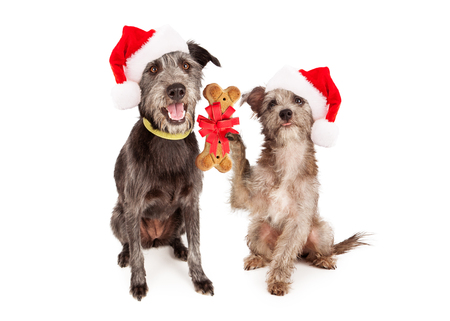 dog biscuit: A little terrier dog giving a bone shaped biscuit to a larger dog as a Christmas present. Stock Photo