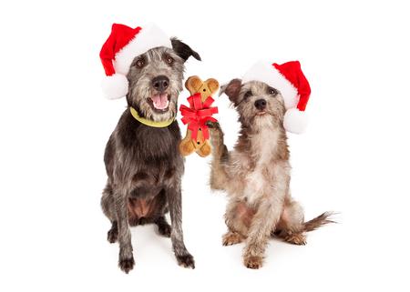 galletas: Un pequeño perro terrier de dar una galleta con forma de hueso para un perro grande como regalo de Navidad. Foto de archivo