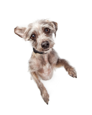 Image looking down at an adorable small breed standing up on back legs looking up with a cute expression Stock Photo