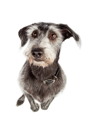Overhead view looking down at a large terrier crossbreed dog standing up on hind legs begging Stock Photo