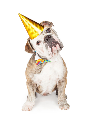 tilting: Cute and funny Bulldog purebred breed dog wearing a birthday party hat and bow tie while looking at the camera and tilting head