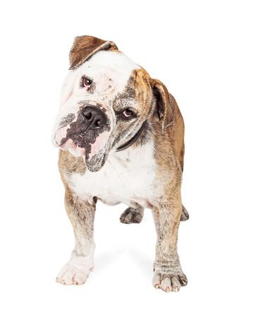 looking into camera: Cute and curious Bulldog breed dog looking into camera and tilting head