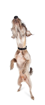 Cute and funny dog standing tall and reaching nose up to smell