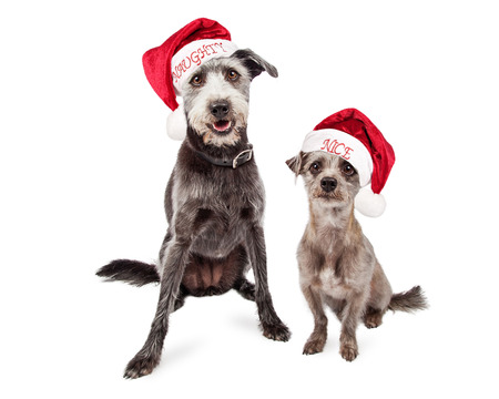 naughty or nice: Two mixed breed grey color terrier crossbreed dogs of different sizes wearing naughty and nice Santa Claus hats