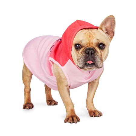 sweats: Cute little French Bulldog wearing a pink hooded sweatjacket