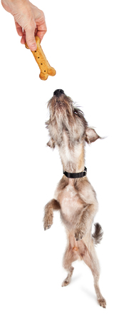 Cute little terrier mixed breed dog standing up on hind legs sniffing a treat in the hand of a person