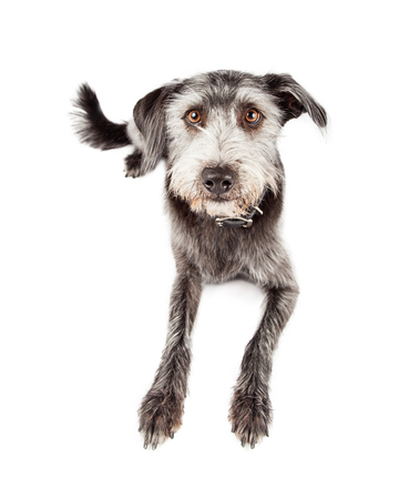 laying forward: Cute mixed breed terrier dog laying down and looking forward into the camera