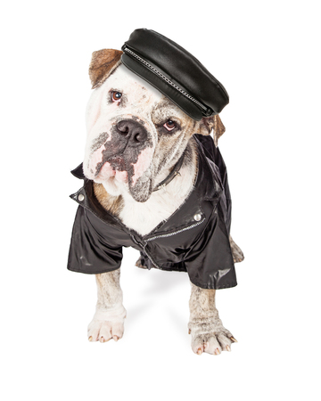 head collar: Funny photo of a large Bulldog breed guard dog wearing leather hat, spiked collar and jacket.