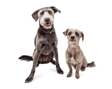 medium size: Two cute grey color terrier mixed breed dogs sitting together - one small and one medium size