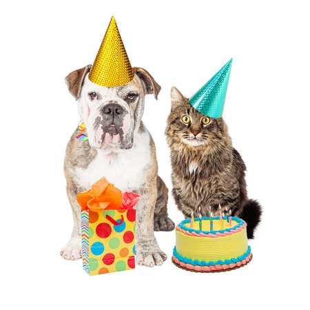 humour: Cute adult Bulldog breed dog and tabby cat wearing birthday party hats with a cake and present Stock Photo