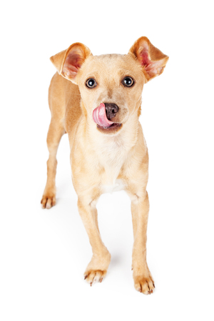 lapdog: Cute little Chihuahua mixed breed dog with tongue sticking out licking lips and nose.