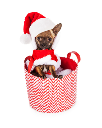 st nick: Cute little Chihuahua dog wearing a Christmas holiday Santa Claus outfit sitting in a red and white basket Stock Photo