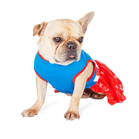 Adorable French Bulldog breed dog wearing a red, white a blue super hero dress