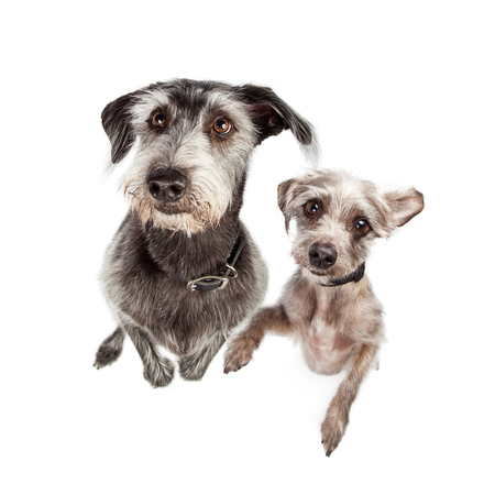 Image looking down at two terrier dogs of different breeds and sizes standing up on back legs looking up with a cute expression