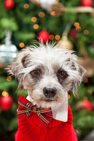 cable knit: Close-up photo of a cute mixed terrier small breed scruffy dog wearing a red cable knit sweater and plaid bowtie while sitting in front of a decorated and lit Christmas tree.