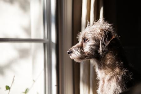 windows: Lindo perro pequeño terrier cruce mirando por una ventana con luz de la mañana iluminando su cara