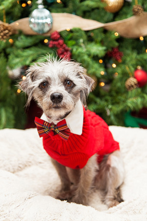 cable knit: Cute mixed terrier small breed scruffy dog wearing a red cable knit sweater and plaid bowtie while sitting in front of a decorated and lit Christmas tree.