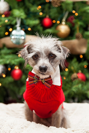 tie necktie: Cute mixed terrier small breed scruffy dog wearing a red cable knit sweater and plaid bowtie while sitting in front of a decorated and lit Christmas tree.