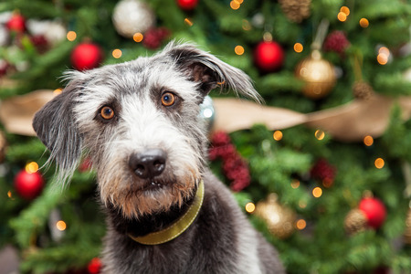 breed: Adorable terrier mixed breed dog in front of a decorated Christmas tree with room on the right for text