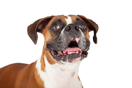 Close-up photo of a Boxer breed dog with mouth open and a happy expression while looking up