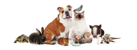 domestic animals: Row of popular domestic pets together over white Stock Photo