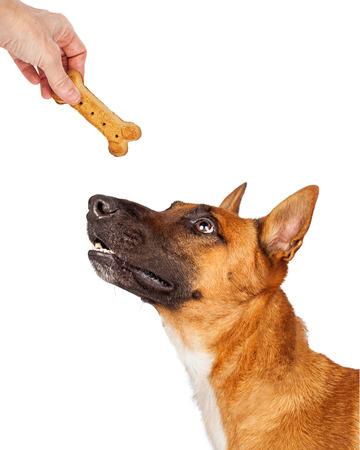 treats: Perro pastor mirando a mano de una persona dándole una golosina en forma de hueso como una recompensa Foto de archivo