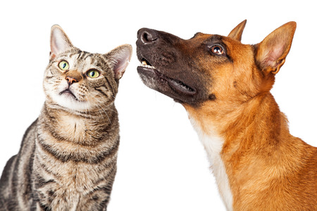 Attentive Shepherd breed dog and tabby cat together looking up and to the side Foto de archivo