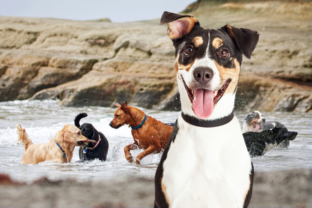 Closeup of a happy dog with a group of dogs of different breeds playing in the ocean in the background