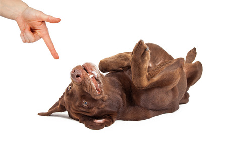 chocolate labrador: Human hand giving a command for a play dead trick to a chocolate labrador retriever dog laying on its back