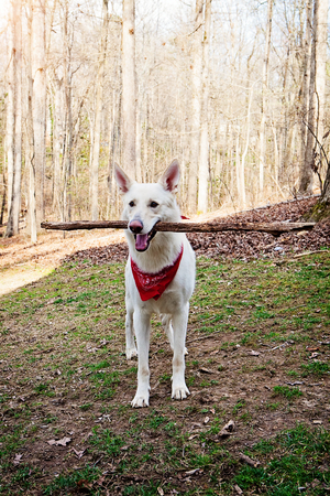 Large shepherd mixed breed dog wearing a red bandana white carrying a long tree branch in his mouth Stock Photo