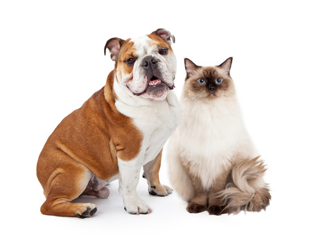 A young nine month old English Bulldog and a beautiful Ragdoll cat sitting together against a white background and looking at the camera