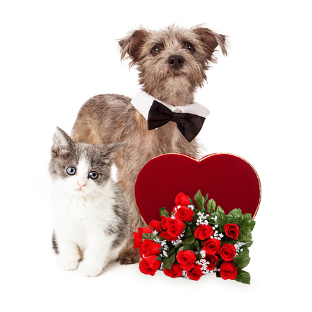 A cute little kitten and Terrier mixed breed dog together with a Valentine's Day candy heart and a dozen red roses