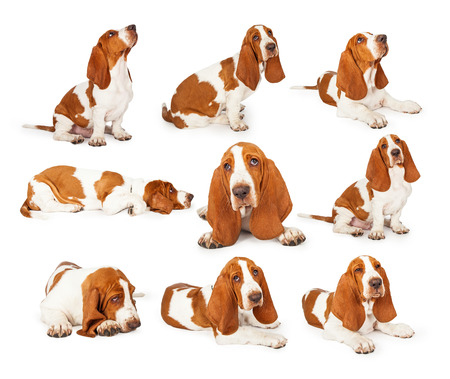 Set of photos of a cute young purebred Basset Hound dog in various positions over white. Stock Photo