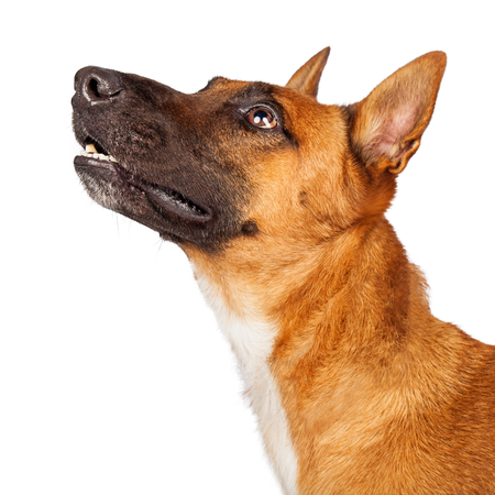 Closeup profile photo of a pretty Belgian Shepherd and Cattle Dog crossbreed looking up