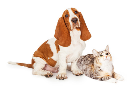 calico cat: Cute young Basset Hound dog and calico cat together over white while looking up and to the side