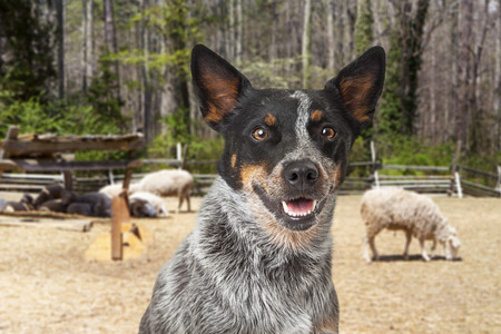 sheep dog: Closeup of a happy Australian Cattle Dog with an open field and sheep in the background Stock Photo