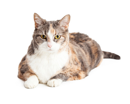 calico cat: Beautiful large calico breed cat laying down and to the side looking forward