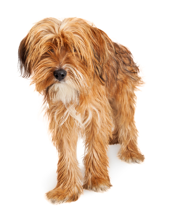 shaggy: Adorable mixed breed dog with long shaggy hair in need of grooming