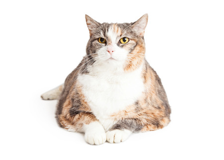 laying forward: Large adult calico breed cat laying down, facing and looking forward