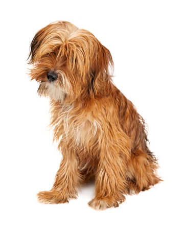 Adorable young mixed breed dog with long shaggy hair sitting on white and tilting head