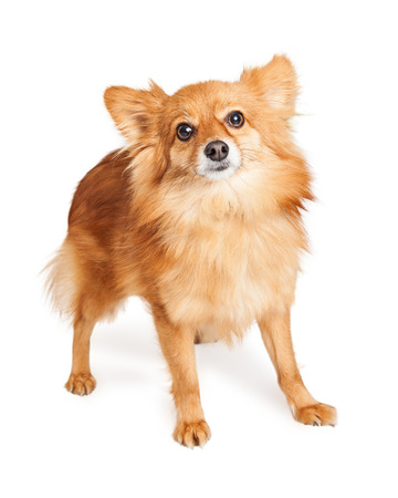 lapdog: Cute Pomeranian mixed breed dog standing looking forward. Isolated on white.