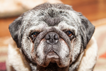 large dog: Closeup of large Pug mixed breed dog looking straight forward into camera. Setting inside of a house.