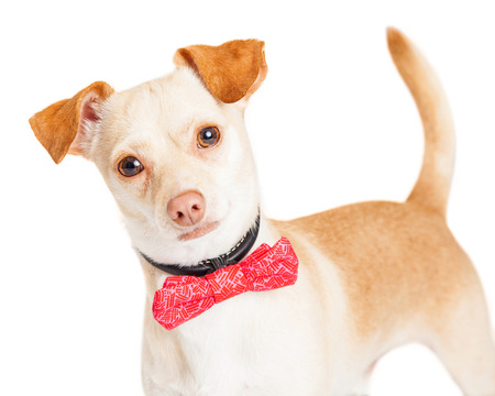 bowtie: Cute little tan color Chihuahua dog wearing a pink color bow tie looking forward into camera
