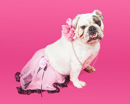 animal tutu: Purebred English Bulldog wearing a tutu, flower collar and beads on a pink color studio background Stock Photo