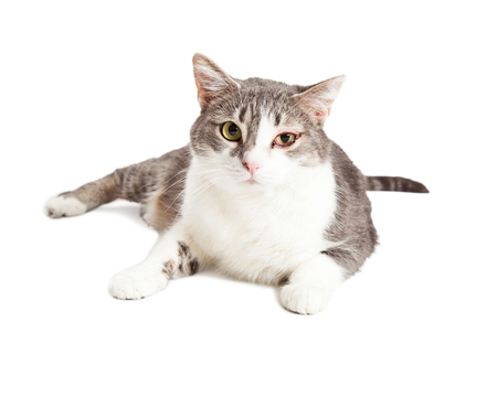 cat eye: Adult cat with a swollen and red eye with discharge from an infection