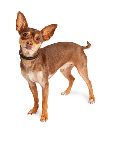 lapdog: Cute little Chihuahua dog standing over white background looking forward into camera