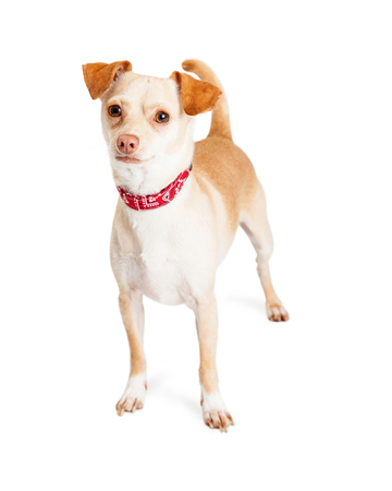 red bandana: Adorable little Chihuahua crossbreed dog wearing red bandana print collar standing over white background