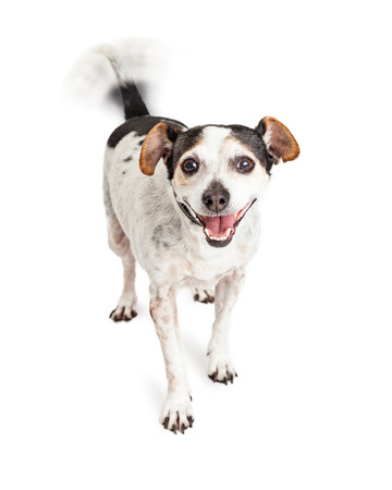 wagging: Cute little Jack Russell mixed breed dog with smiling happy expression and intentional motion blur on wagging tail