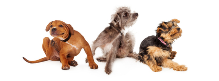 Three young dogs sitting together on a white background and scratching Stockfoto